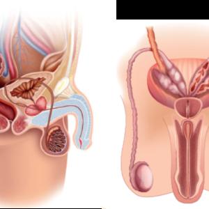 Anatomisk bildeblokk menn